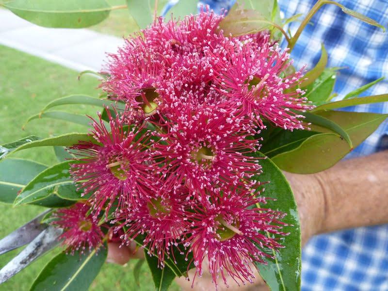 Rich pink flowering gum