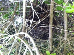 Ringtail possum drey