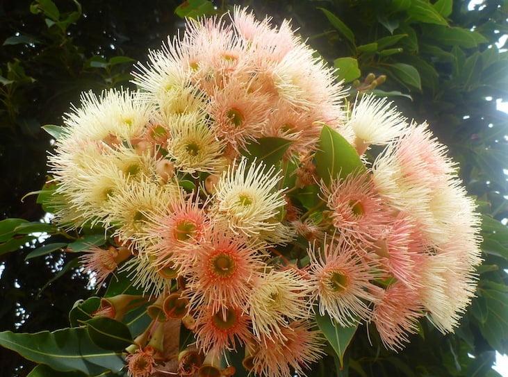 Soft apricot-orange flowering gum