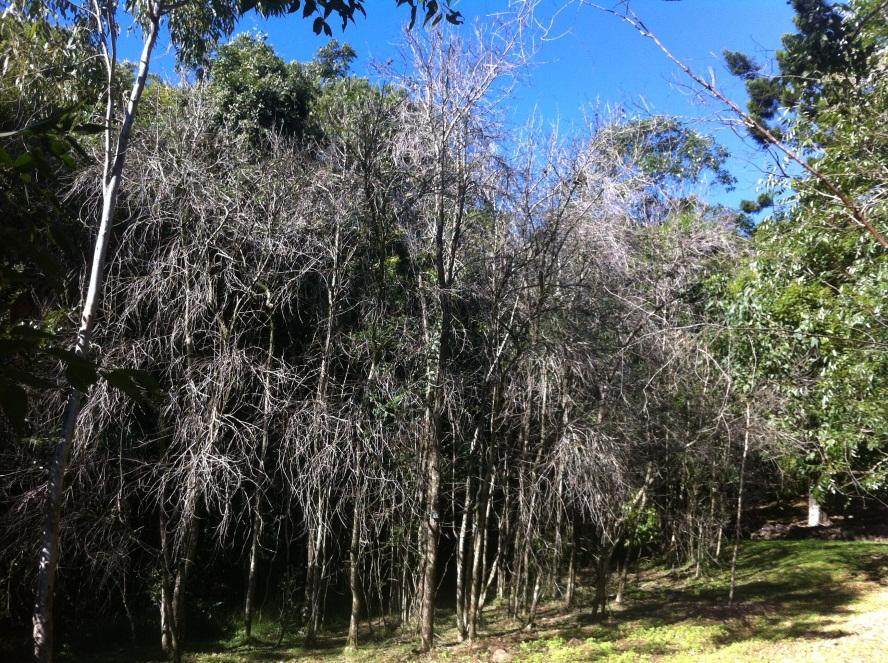 Stand of Rhodomyrtus psidioides defoliated by myrtle rust, Ewings Dale, Byron Bay, New South Wales (Photo by K. Kupsch)