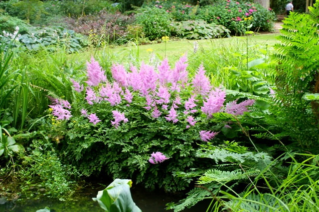 A glimpse of amazing colour - maybe Astilbe x arendsii 'Hyacinth'?