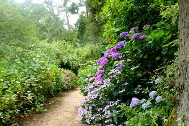 The hydrangea walk at Abbotsbury