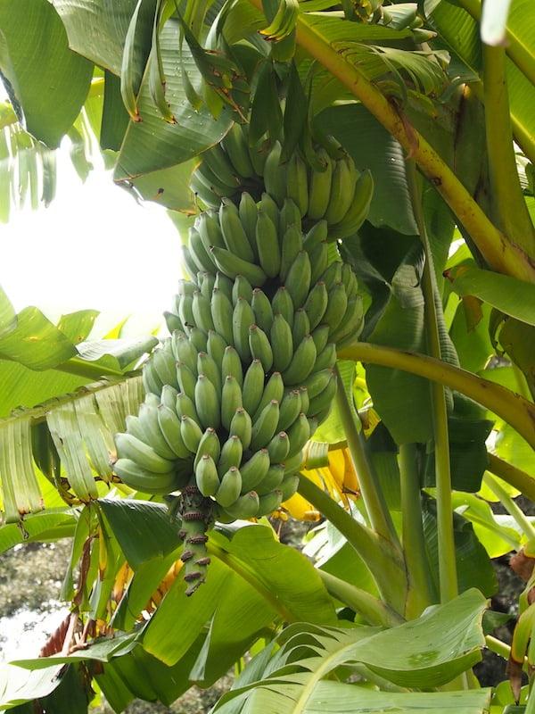 Ripening hands of bananas