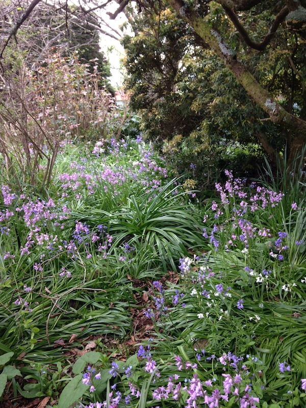Our bluebell wood
