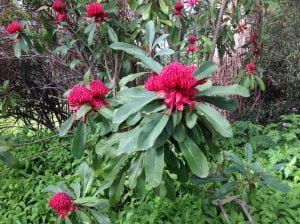 Some of the beautiful waratahs