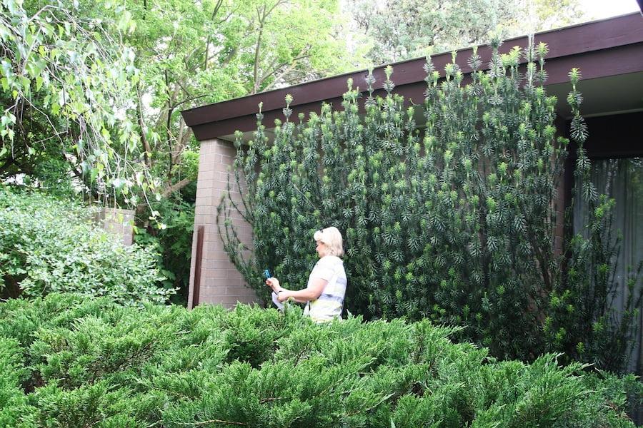 Garden design fest cephalotaxus john patrick garden for Garden design fest 2014