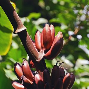 Red banana Photo Harvey Barrison. (LIcence Creative Commons 2.0)