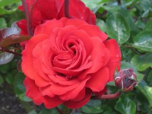 Rose 'Christchurch Remembers'. Breeder Rob Somerfield