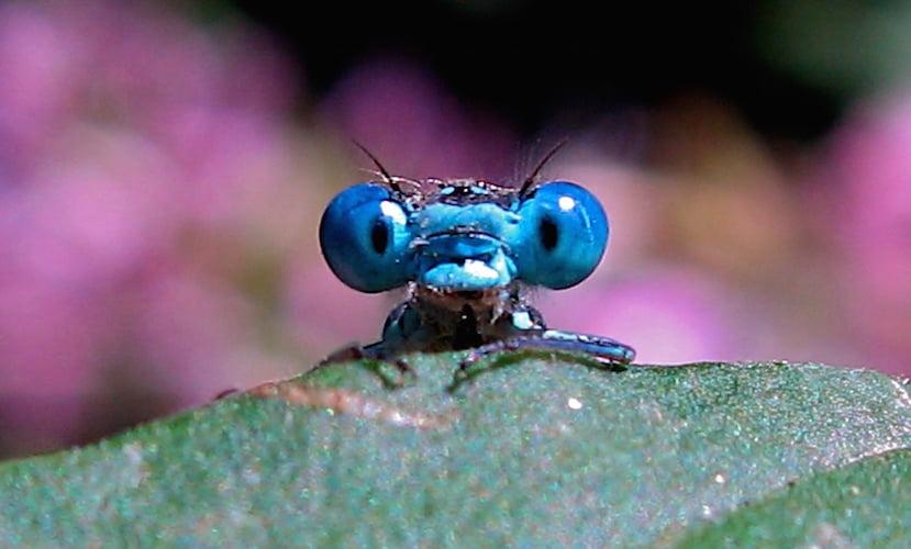 Dragonfly. Photo Timitalia