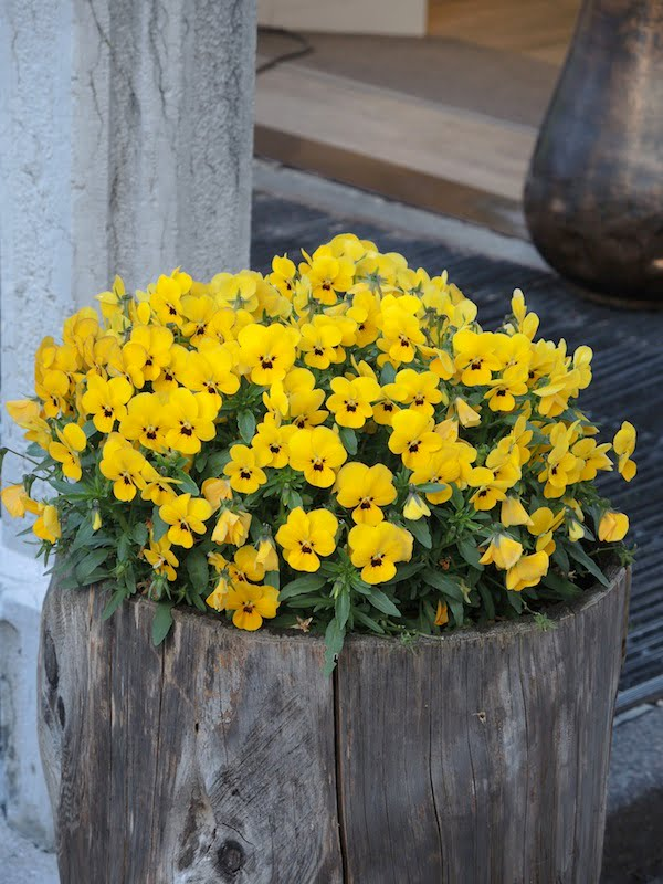 Window Boxes of the Dolomites Photo Helen McKerral32