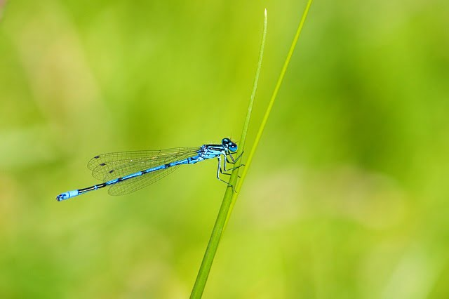 Azure damselfly. Photo by Kaz