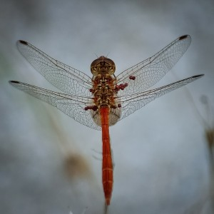 dragonfly-405355_1280