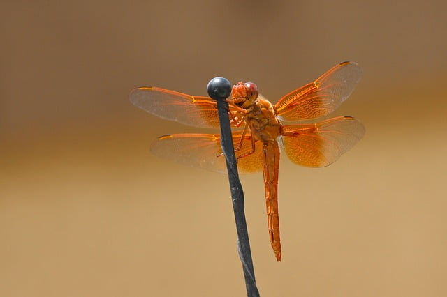dragonfly-flame skimmer
