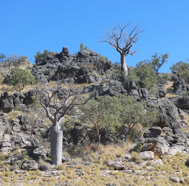 Boabs growing in ancient rocks near Tunnel Creek