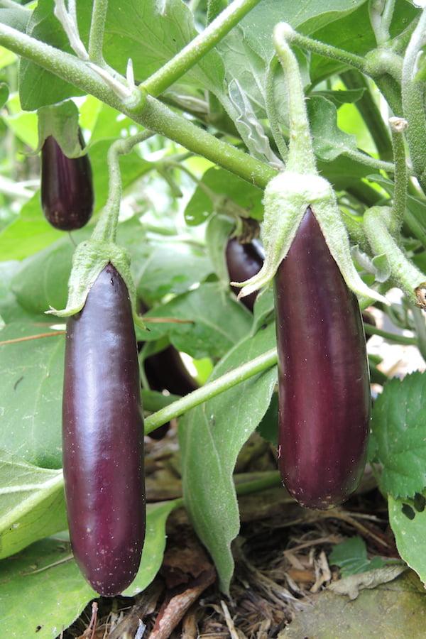 Lebanese eggplant