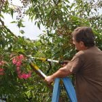 How to prune a flowering gum copy