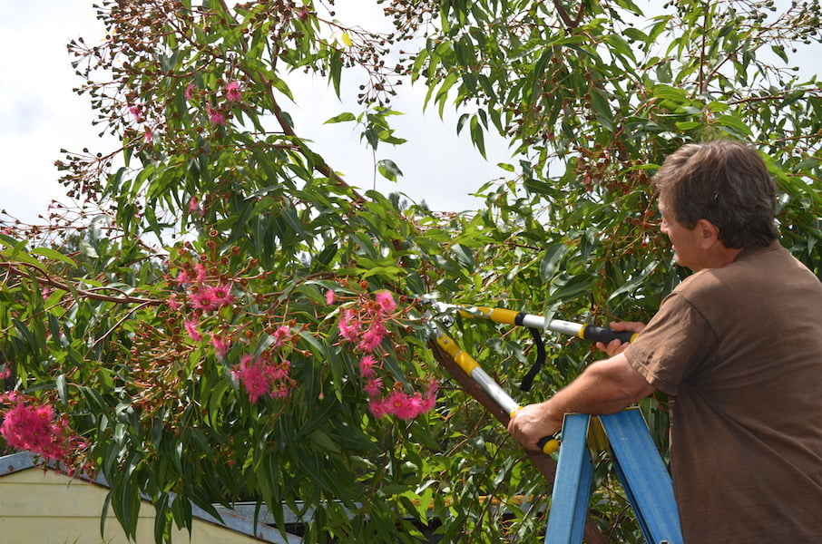 How to prune a flowering gum gardendrum how to prune a flowering gum mightylinksfo