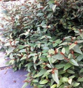 Lasiopetalum macrophyllum1