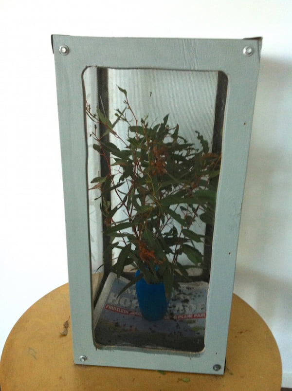 Our homemade spiny leaf insect cage made from an old fish-tank on its side