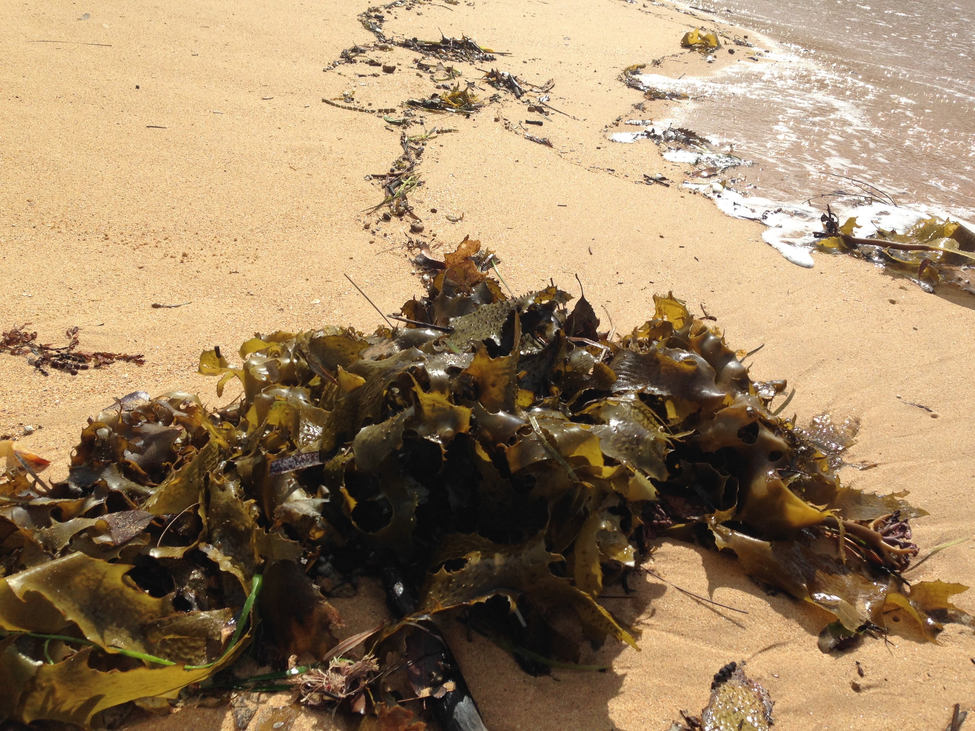 Slippery, slimy rolls of seaweed at Maitland Beach. Do they add or subtract to your experience? Photo: Janna Schreier