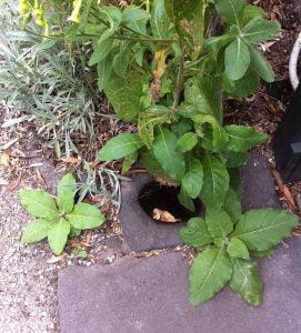 Nicotiana langsdorffii and seedlings
