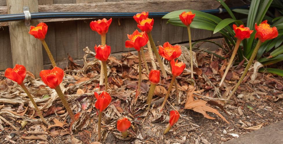 Blood lily, Haemanthus coccineus in my garden