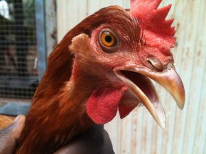 CYCLONE SURVIVOR Shepherdson College's much loved chicken