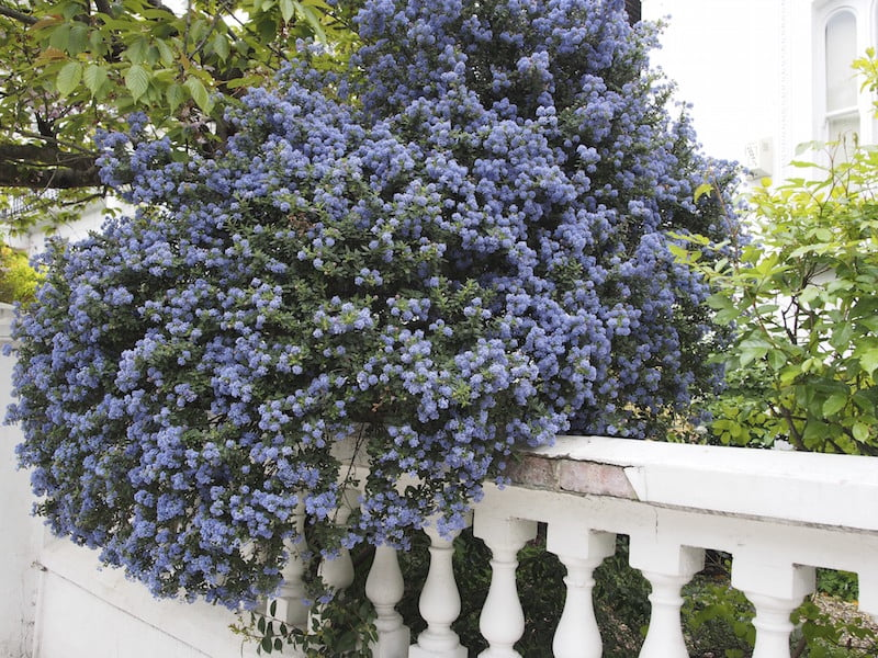 Spectacular ceanothus spills over a fence in Notting Hill