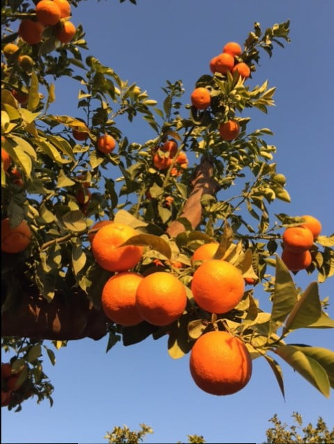 Citrus for 'The Beauty of Islam' garden