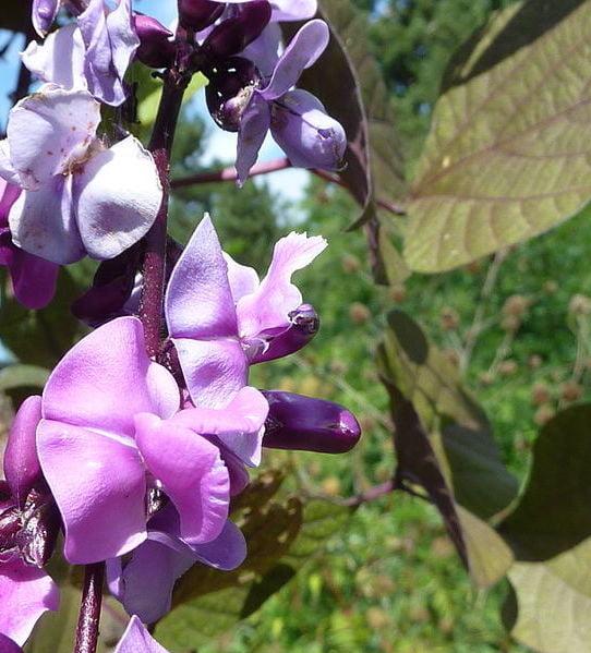 Flowers of Lablab purpureus - lablab or poor man's bean