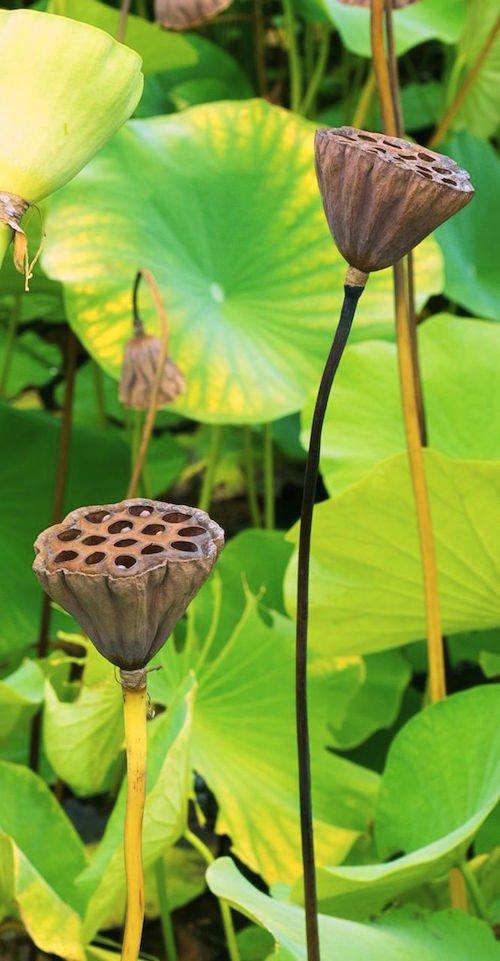 Lotus seedpod