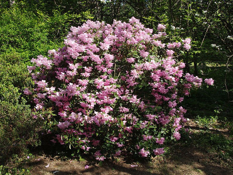 Rhododendron williamsianum Photo Chrumps