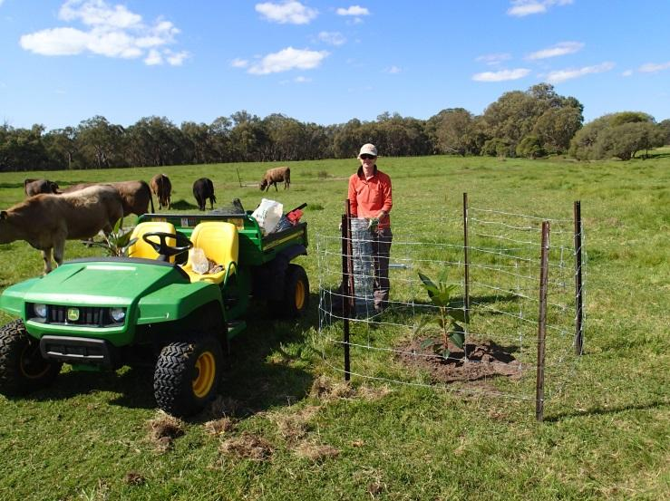 Building tree guards to protect against inquisitive cattle and kangaroos