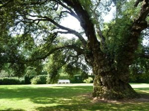 Quercus ilex (Holm oak). Photo © Copyright Ruth Sharville
