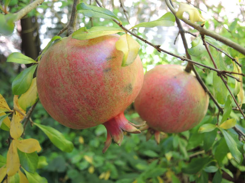 Ripening pomegranate in part sun