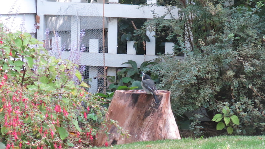 Butcherbird having a refreshing drink from the new birdbath
