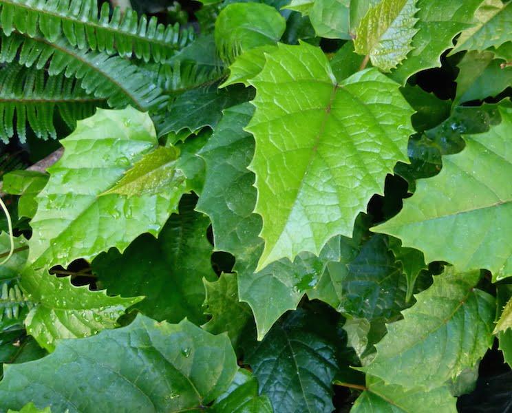 Cissus antarctica foliage