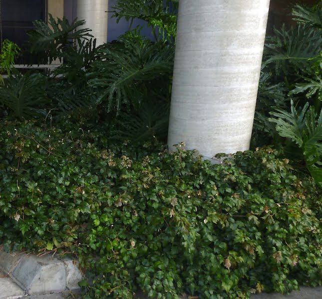 Cissus growing as a ground cover in heavy shade