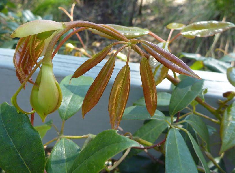 Cissus hypoglauca foliage