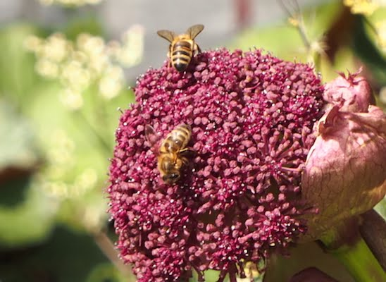 Bees on Angelica flowers. Image GardenDrum.com