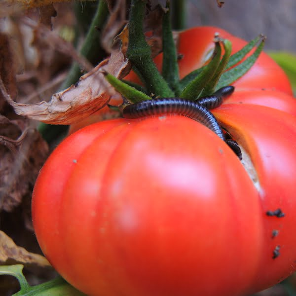 Millipedes climb my 2m high tomato vines