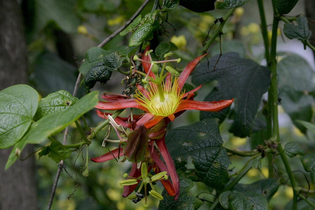Passiflora cinnabarina Photo Tony Rodd via Flickr