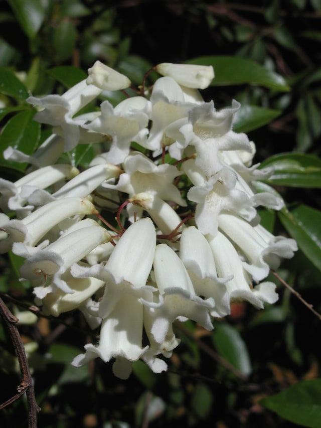 Pandorea pandorana flowers