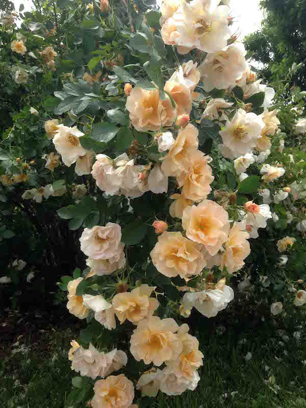 Rosa 'Above and Beyond'