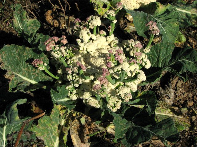 Cauliflower starting to flower. Photo Evelyn Simak geograph.org.uk