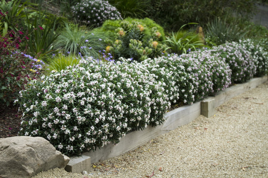 Daphne Eternal Fragrance hedge