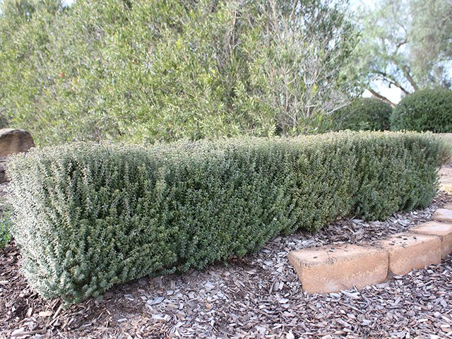 Ozbreed's Grey Box grown as a hedge