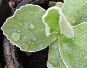 Leaves of Primula auricula Farina group
