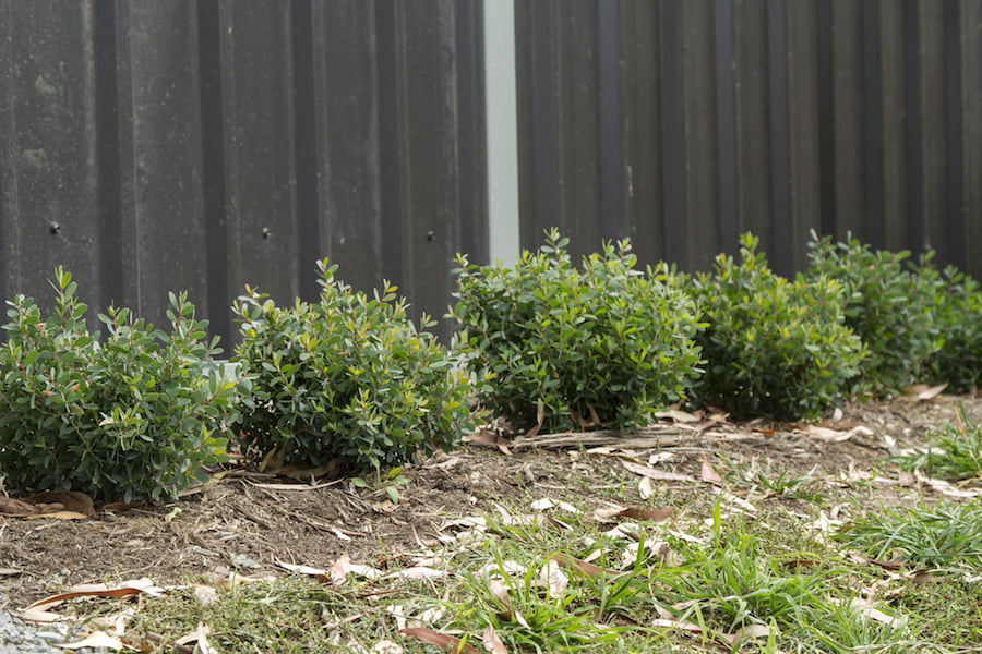 A newly planted hedge of Leptospermum Fore Shore
