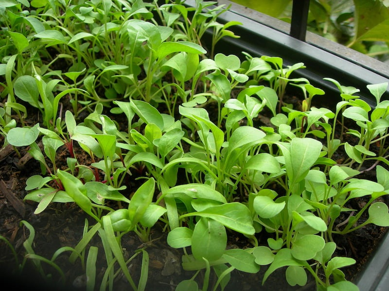 Rocket and spinach seedlings. Photo Alice Spenser-Higgs